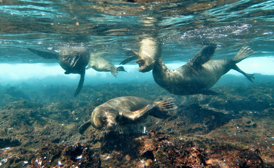 Playful Galapagos sea lions underwater.