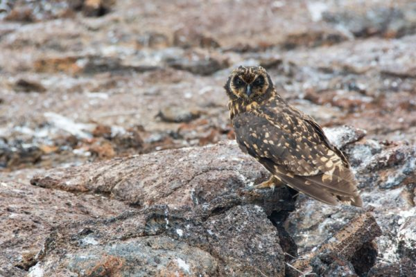 Galapagos short-eared owl spotted in Galapagos.