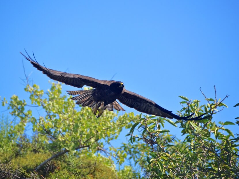 Galapagos Hawk flying down.