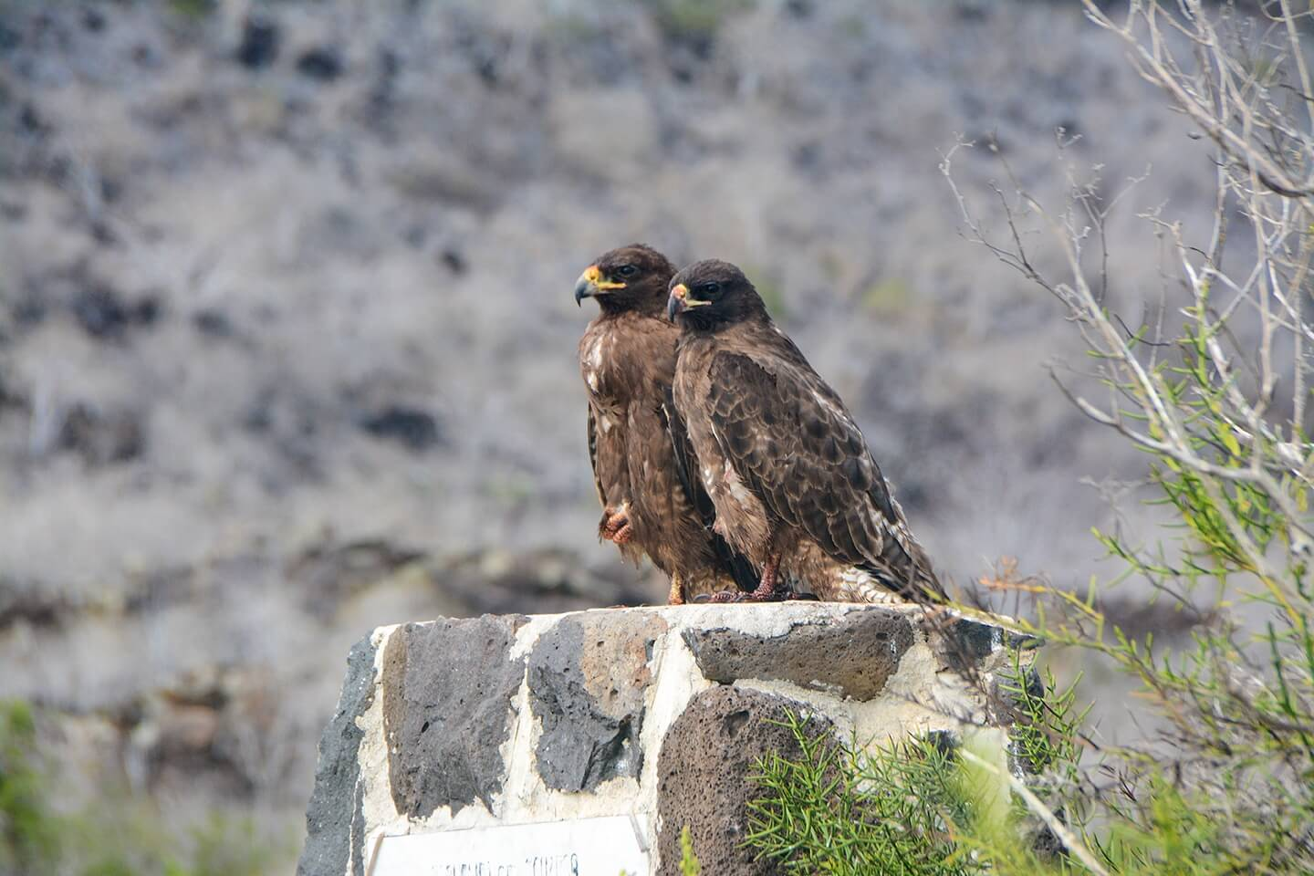 Pair of Galapagos hawks on a rock.