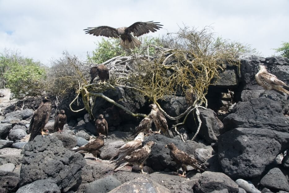 A kettle of Galapagos hawk.