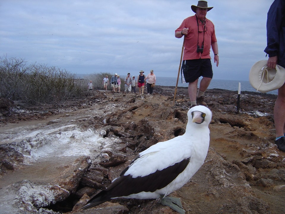 Nazca booby found on the trail when exploring Galapagos.