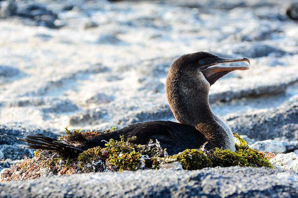 A female flightless cormorant brooding.