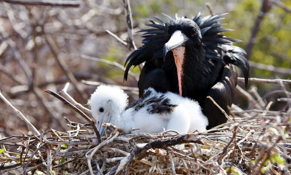Galapagos frigatebird with its chick.
