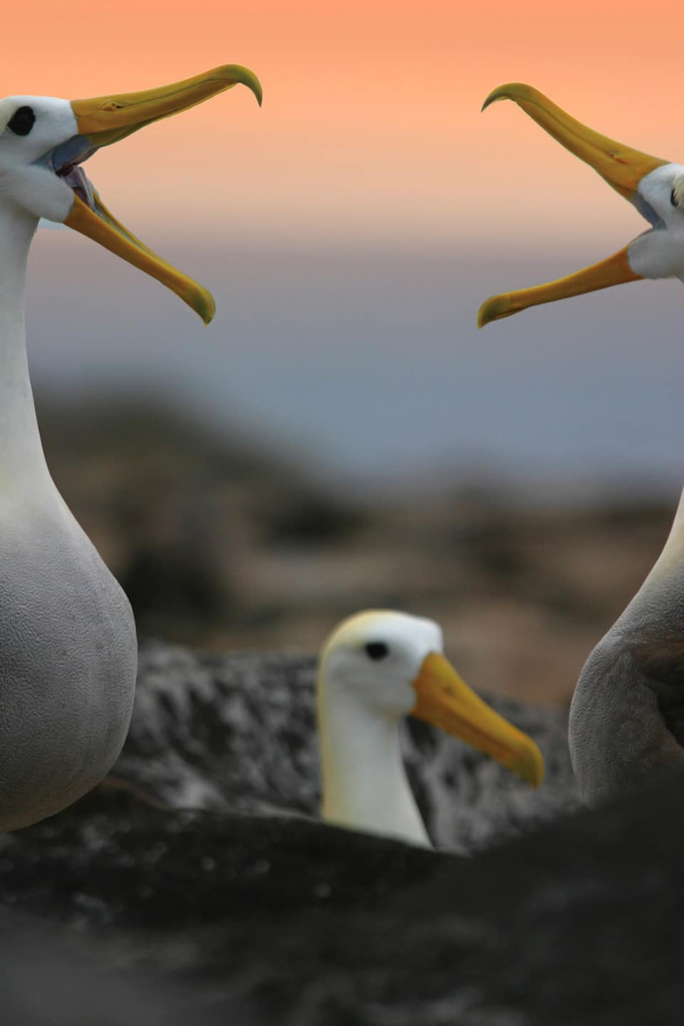 Waved albatrosses doing their courtship ritual.