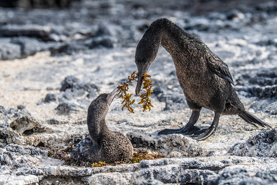 Flightless cormorant feeding its chick.
