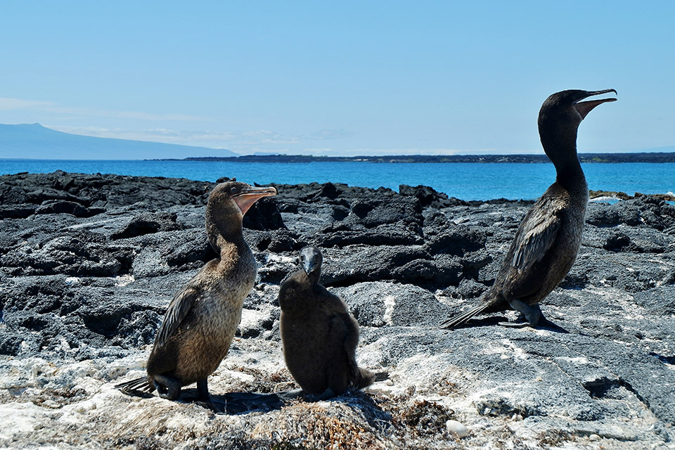 A couple of flightless cormorants with its chick in Galapagos.