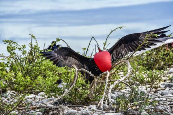 Galapagos frigatebird showing its gular sac.