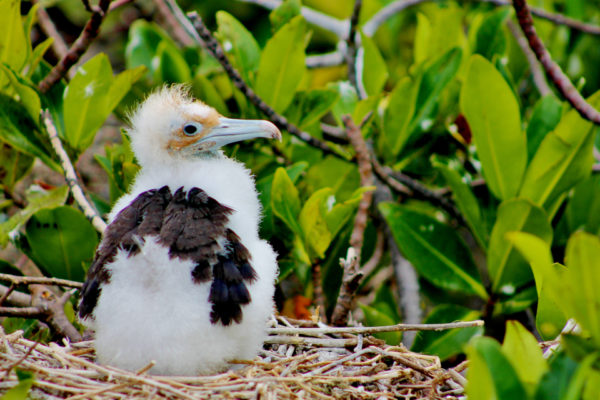 Galapagos frigatebird chick in the nest.