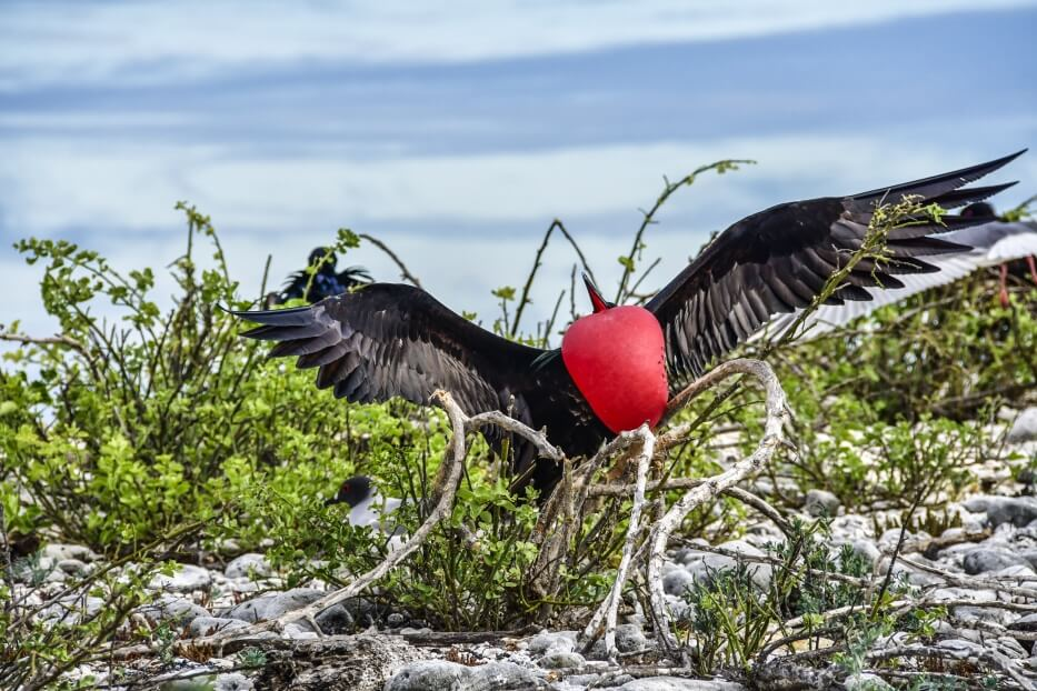 Galapagos frigatebird showing its gular sac.