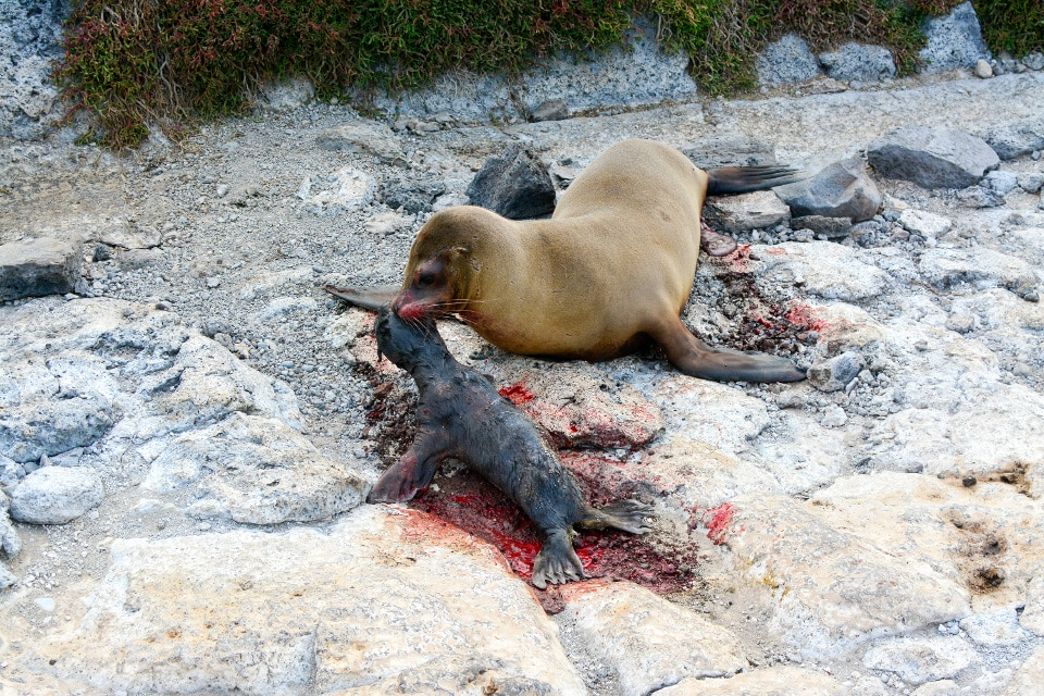 A Galapagos sea lion looking after its newborn cup!