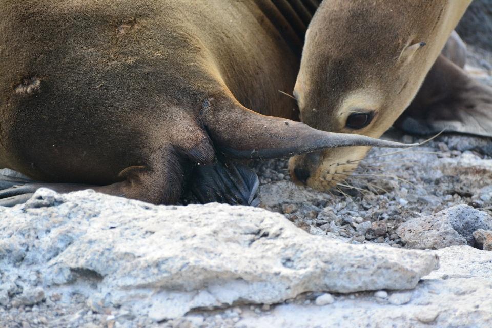 Galapagos sea lion being born.