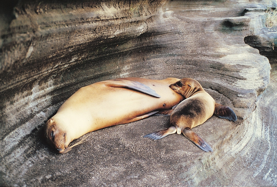 Galapagos sea lion mom and pup resting.