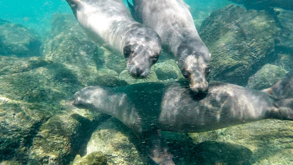 Galapagos sea lions underwater.