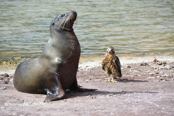 Sea lion and Galapagos hawk interacting.