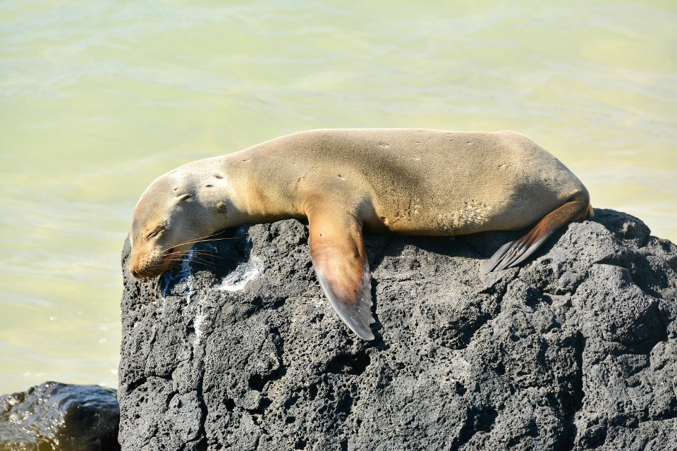 Sea lion pup sleeping on a rock.