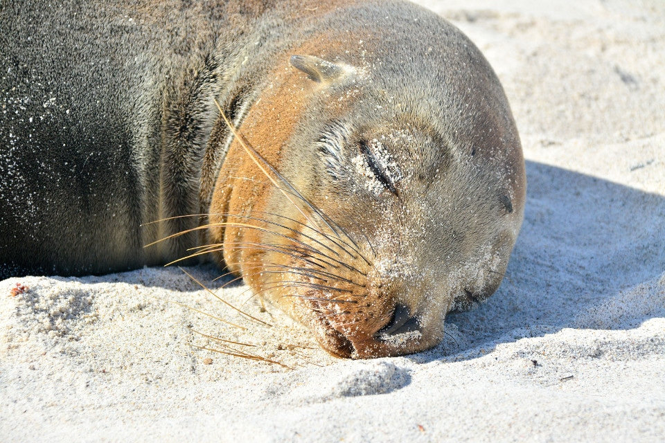 Galapagos sea lion sleeping.