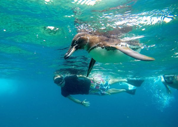 Snorkeling with penguins at Tagus Cove in the Galapagos Islands.