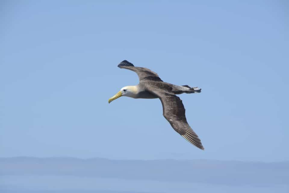 Waved albatross flying.