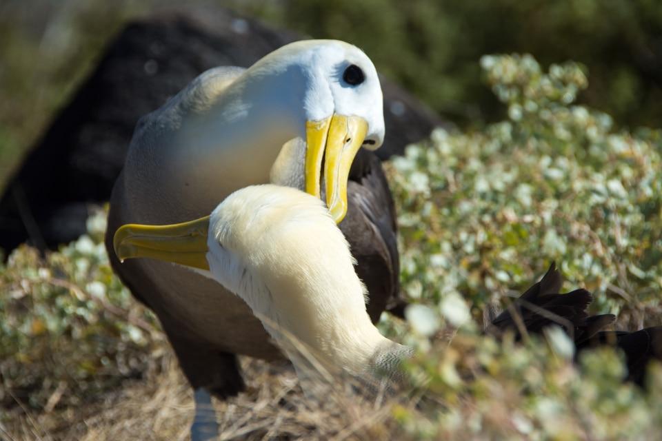 The albatrosses' courtship.