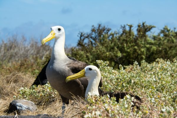 Galapagos albatrosses resting in the bushes.