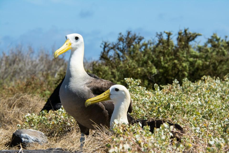 Galapagos albatrosses resting in the bushes.