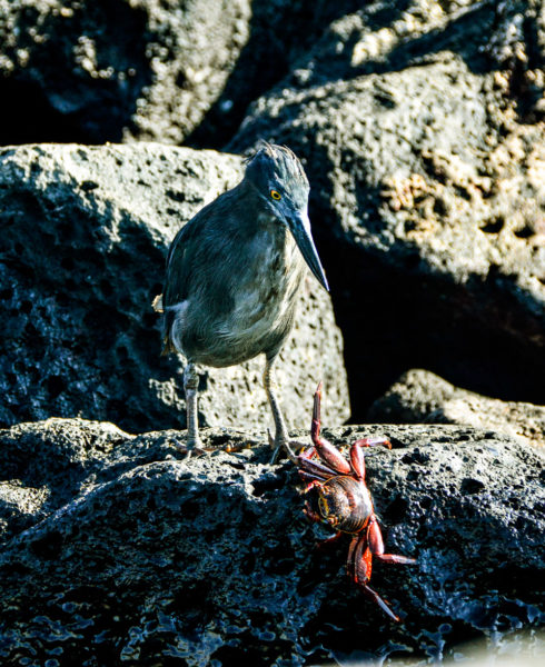 Galapagos lava heron interacting with a crab in its natural habitat.