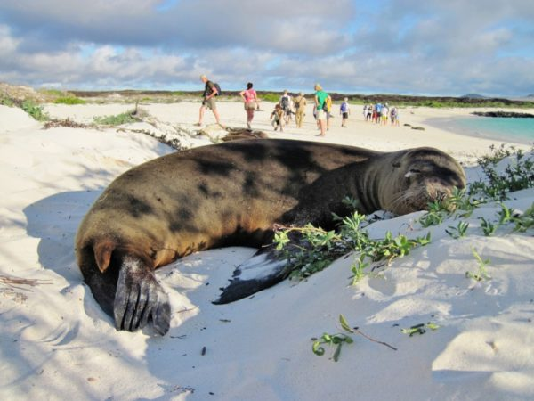 Sea lion resting on the sand and visitors exploring Galapagos.
