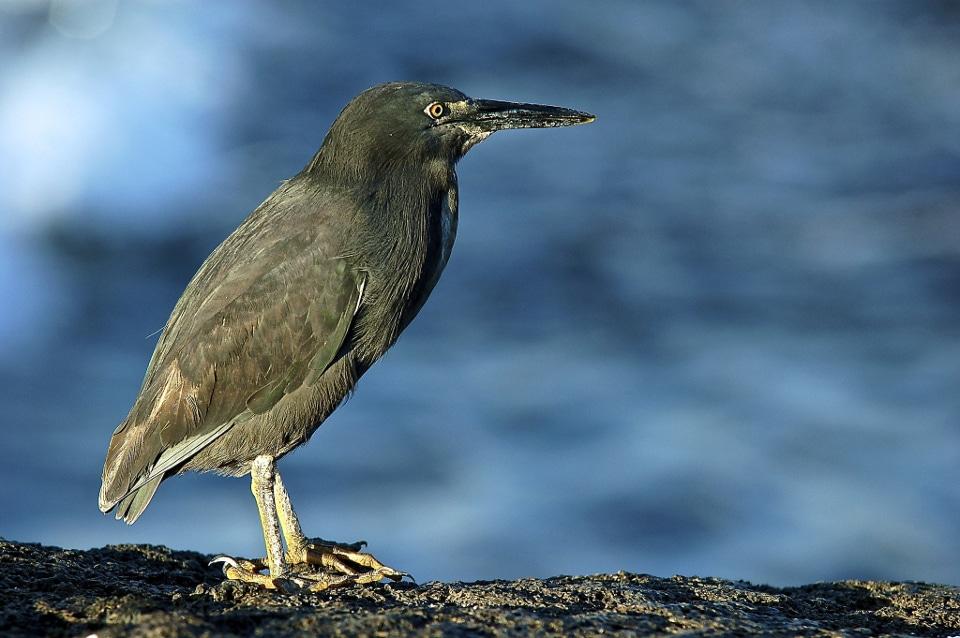 Galapagos lava heron.
