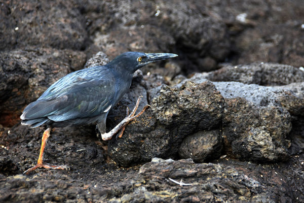 Galapagos lava heron during the nesting season.