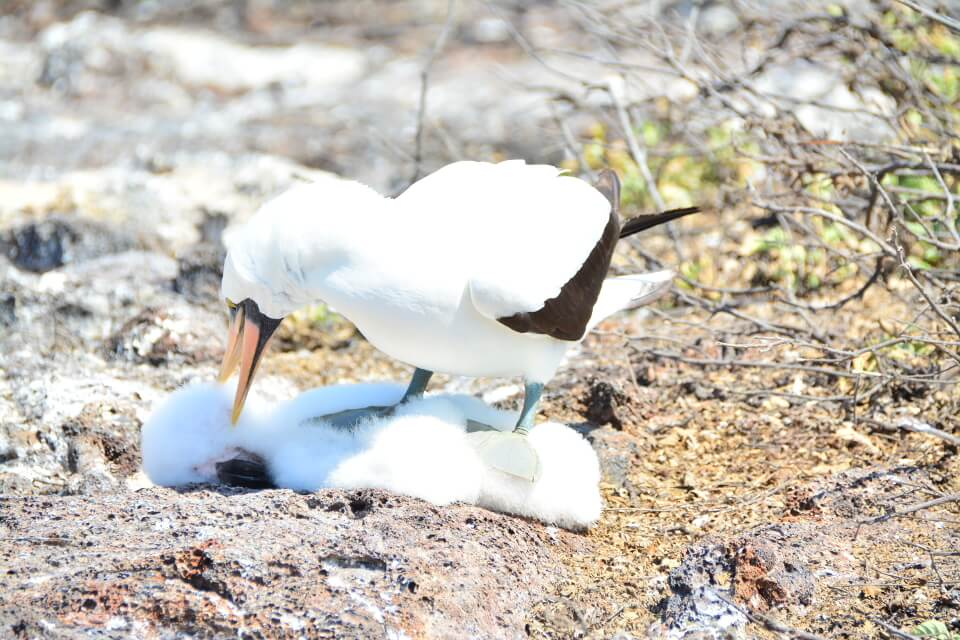 Nazca booby infanticide on Genovesa Island.