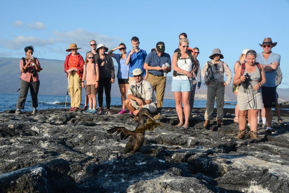 Santa Cruz's guest interacting with a flightless cormorant on Fernandina Island.