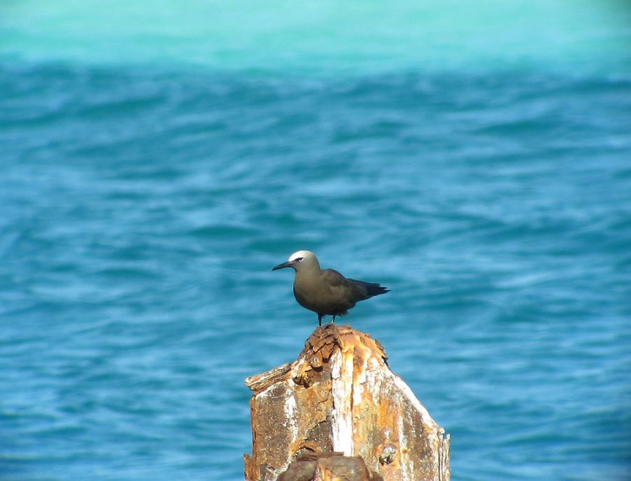 Brown noddy on a rock.