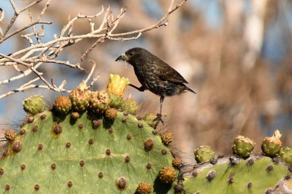 Cactus Finch feeding