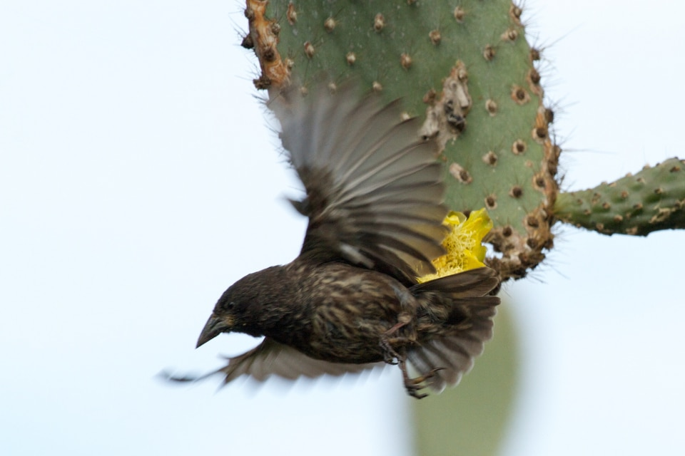 Galapagos finch flying.
