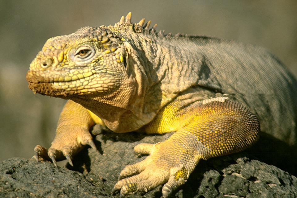 Galapagos land iguana in its natural habitat.