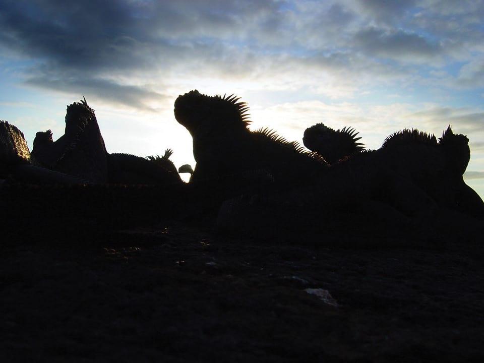 Galapagos land iguanas.