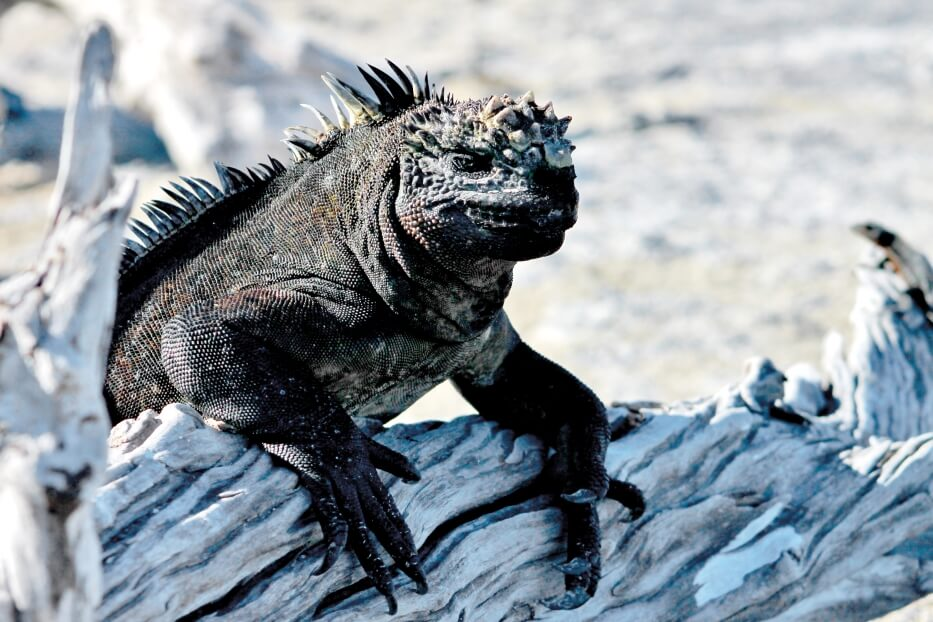 Galapagos marine iguana in its natural habitat.