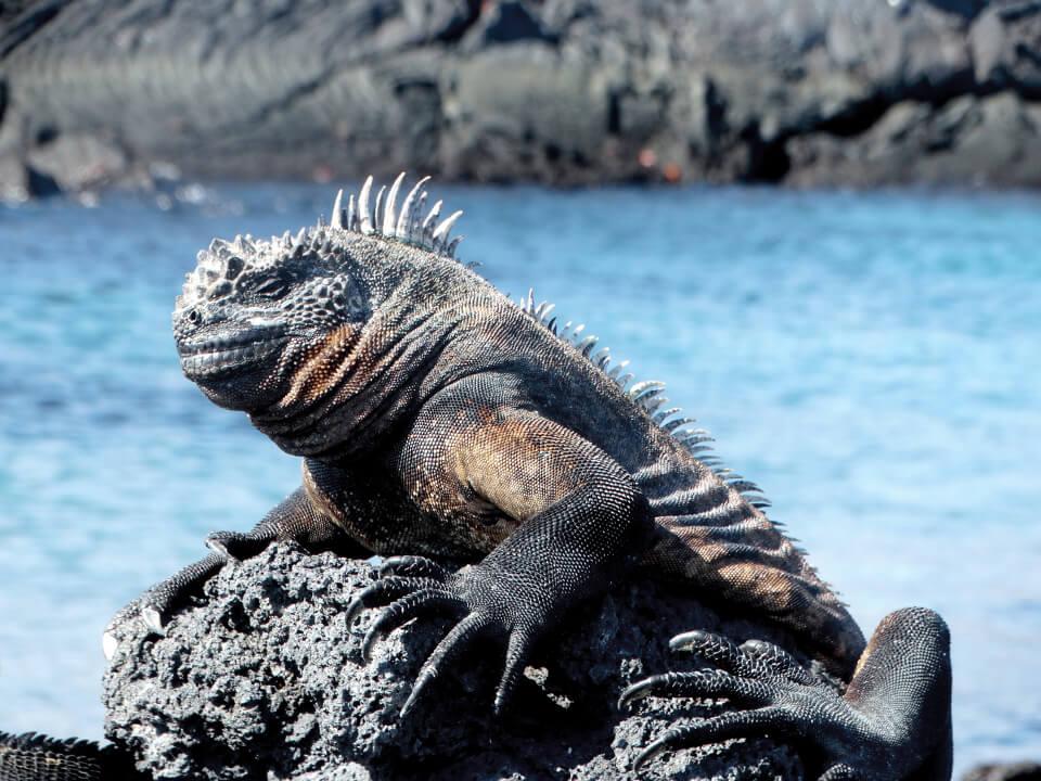Galapagos marine iguana basking under the sun.