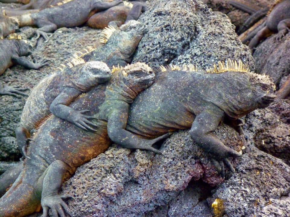 Galapagos marine iguanas resting on lava rocks.