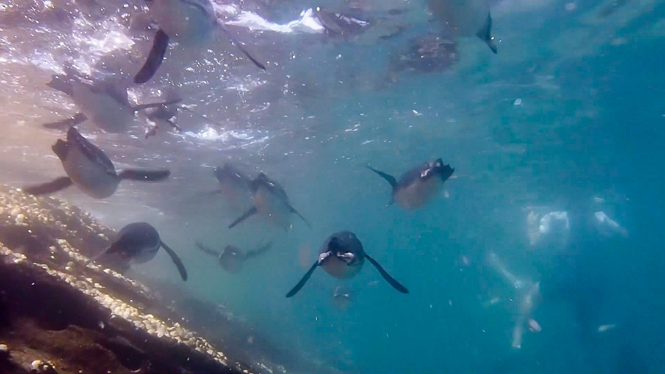 Galapagos penguins swimming.