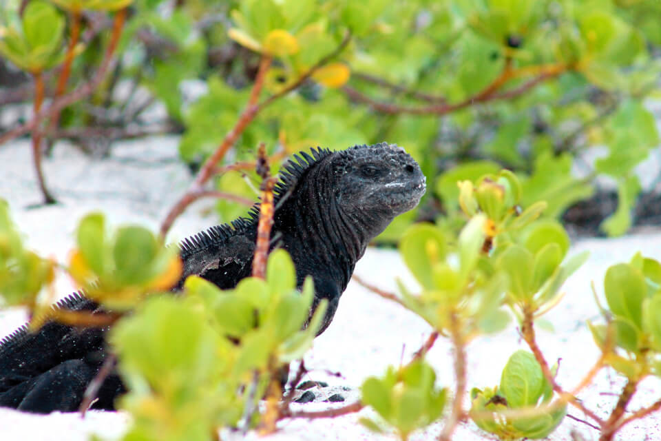 The Galapagos marine iguana is an example of the evolution.