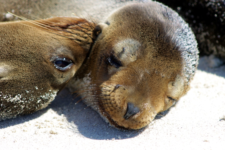 A mother sea lion smelling its pup.