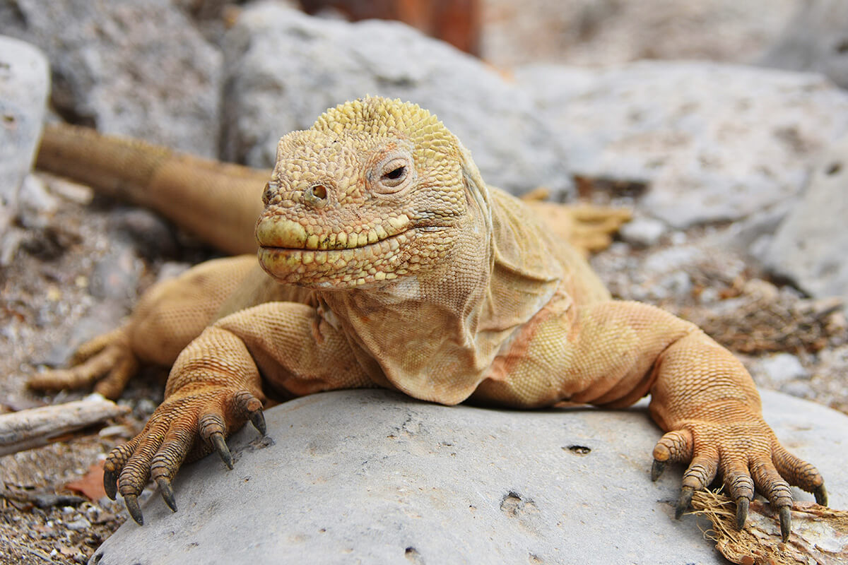 Santa Fe Iguana: a Galapagos endemic species.