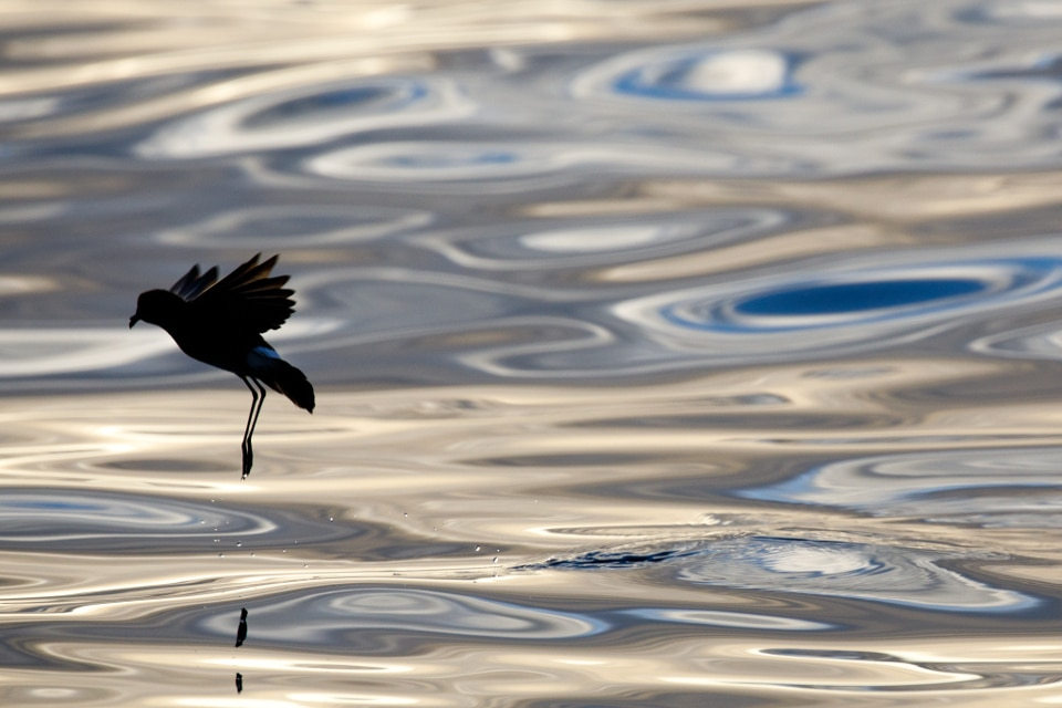 The storm petrel is a Galapagos seabird.