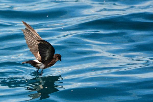 Storm petrel flying