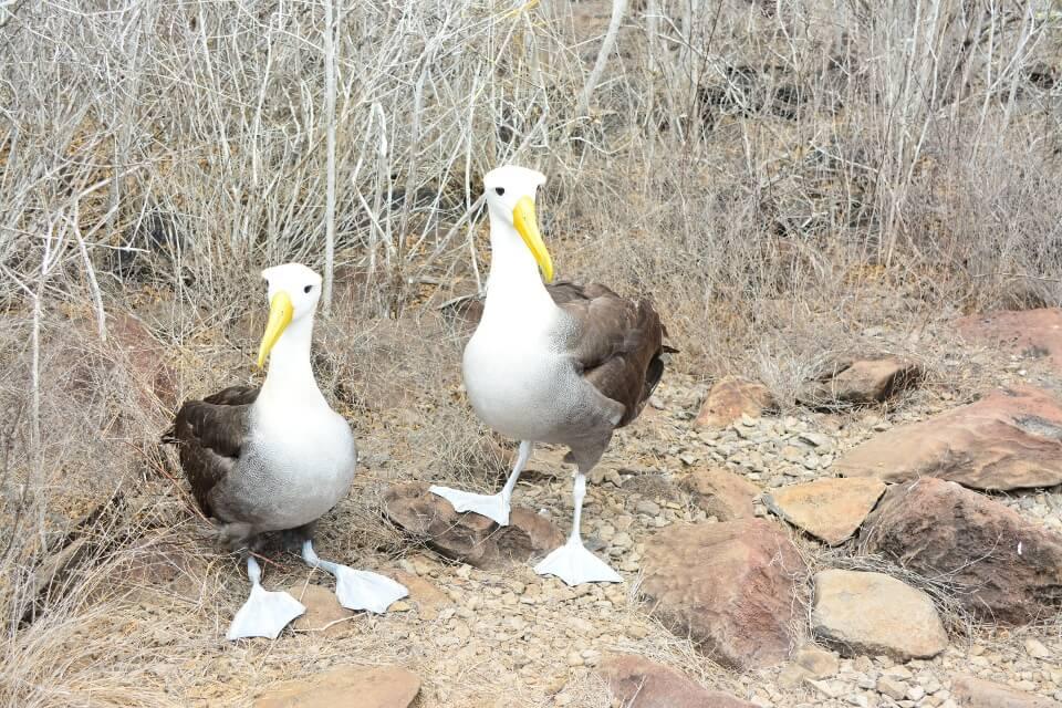 Waved albatrosses seen while exploring Española Island.