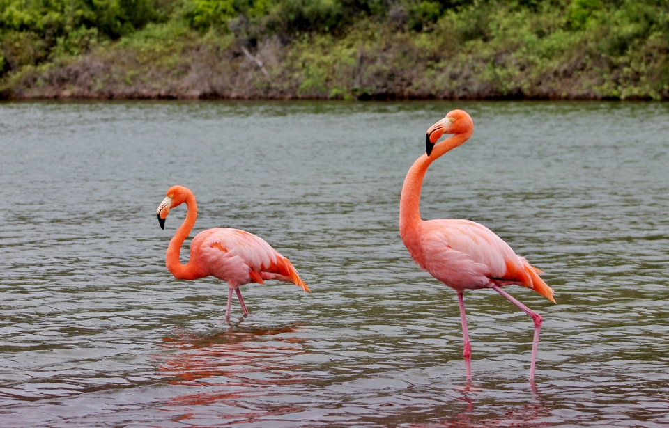 American flamingos spotted at Las Bachas, Santa Cruz Island.