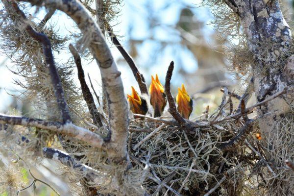 Baby mockingbirds on Rabida Island.