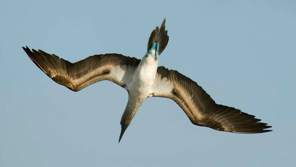 Blue-footed Booby diving.